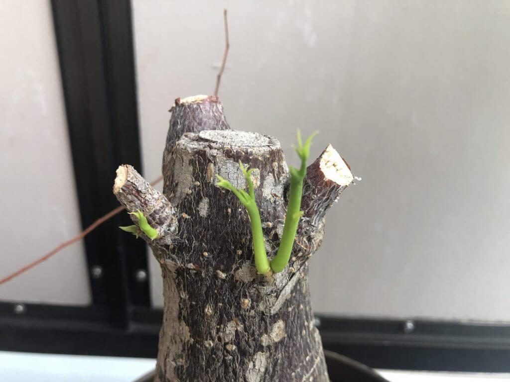 パキラ 新芽